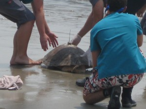 Sea Turtle Release Photo 3