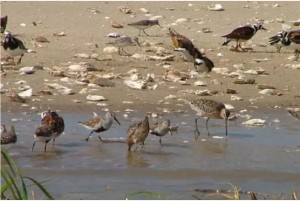 GeorgiaShorebirds