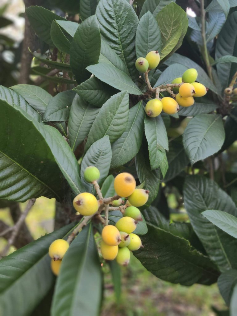 Loquats ripening on the tree